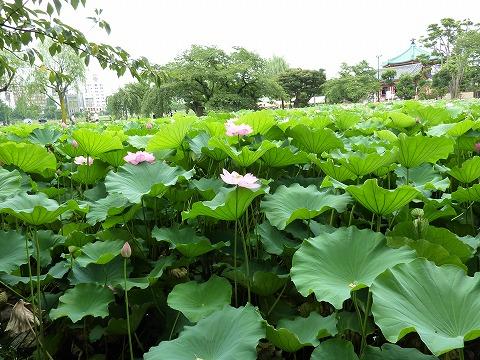 上野不忍池の蓮002