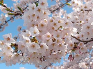 三春のサクラ