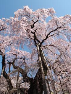 滝桜 アップ