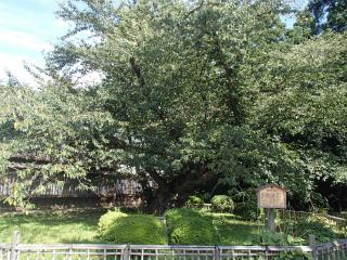 弘前公園日本最古のソメイヨシノ
