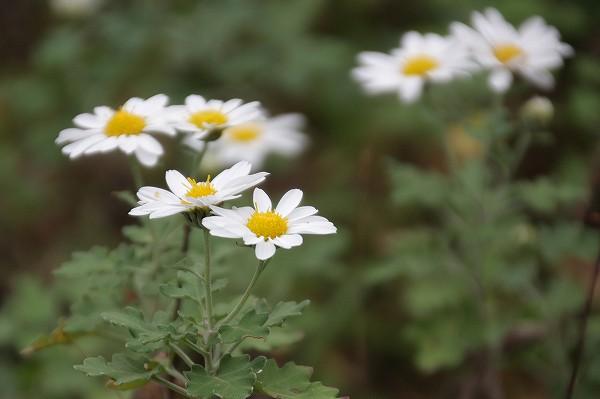 ノジギク ( 野路菊 )