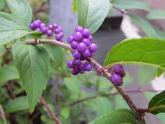 autumnflowerberry12.jpg